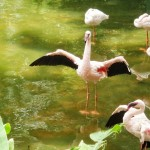 Flamingo in Kowloon Park
